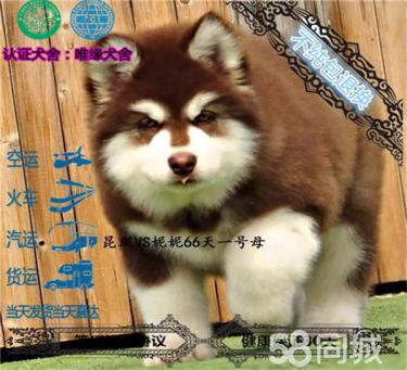 精品繁殖熊版阿拉斯加幼犬 可爱温顺健康纯种可自提