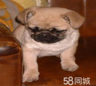出售活泼可爱巴哥犬 疫苗驱虫做好?#20998;?#26377;保证