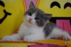 高品质英短蓝猫 蓝白