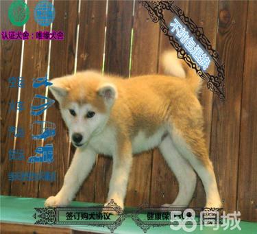 精品繁殖日系秋田幼犬 可爱温顺乖巧健康纯种可自提