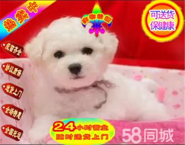 本地犬场一出售超萌可爱比熊幼犬一包养活一签协议