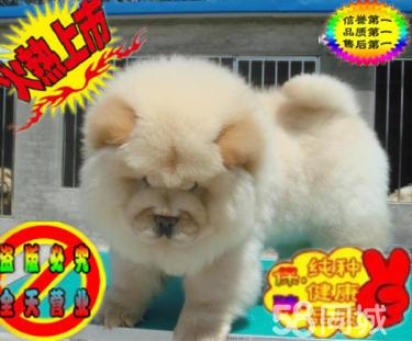 精品憨厚可愛的松獅寶寶出售 正版純種松獅 大肉嘴