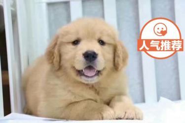 聪明温顺热情的导盲犬金毛幼犬陪伴巡回犬【协议质保】