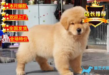 出售可愛的美系大頭金毛寶寶