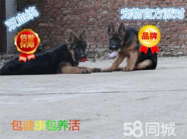 專業養殖德國牧羊犬 賽級弓背 高品質黑背幼犬