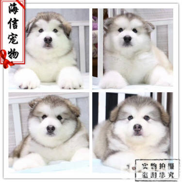阿拉斯加狗狗出售了,活潑可愛的阿拉斯加,骨架大哦