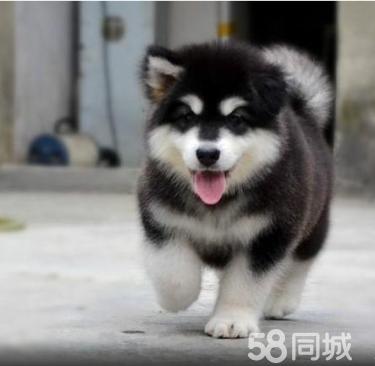 CKU纯种健康阿拉斯加犬,熊版阿拉斯加,巨型阿拉斯