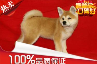 出售纯种秋田犬 高品质 血统纯正签订售后质保协