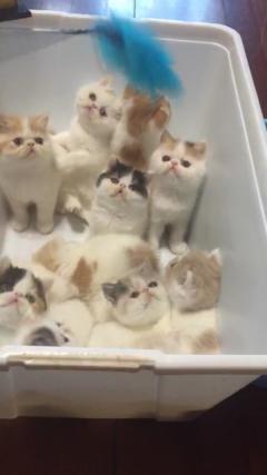 純家養寵物貓可上門