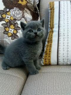 家养英短蓝猫妹妹弟弟找新家