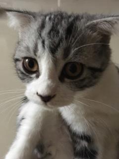 出售二个多月折耳猫,价格可谈,真心的来。