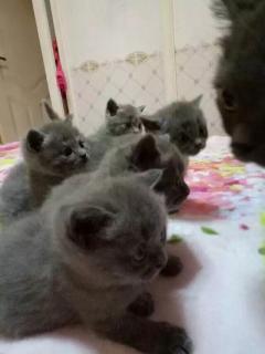 2個月大英國短毛貓