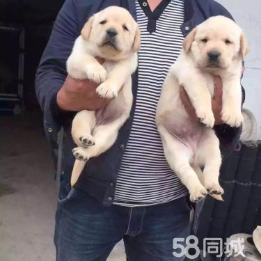 安慶地區長期銷售各種名犬!見狗滿意付款