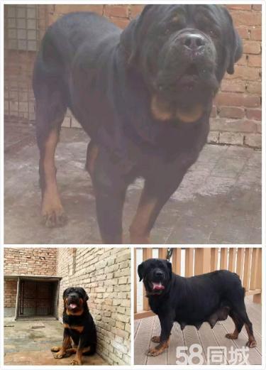 黑豹犬舍低價出售羅威納種犬