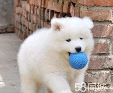 狗厂十周年庆,精品萨摩耶特惠价,包健康送礼品