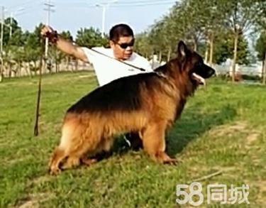 超級高品位德牧幼犬