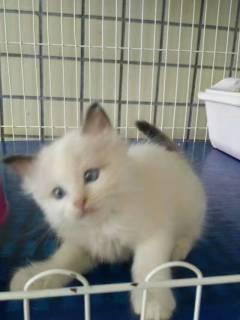 家养布偶猫生的小猫