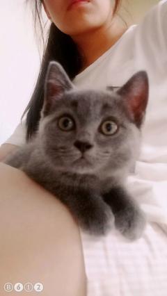 纯种蓝猫,三个月,弟弟
