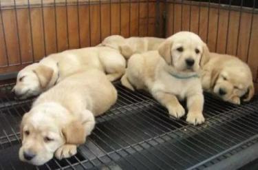 出售家�B�p血�y拉布拉多幼犬出生��C��芯片全部�R全