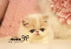 加菲貓幼貓活體 純種加菲貓寵物活體加菲貓幼貓純種母