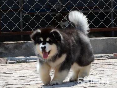 阿拉斯加.阿拉斯加犬.阿拉斯加幼犬.赛级阿拉斯加