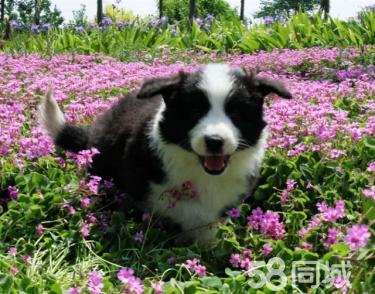 出售純種邊境牧羊犬寶寶幼犬品相好 健康有保障