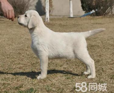 出售品質高血統純聰明可愛易訓拉布拉多幼犬包健康