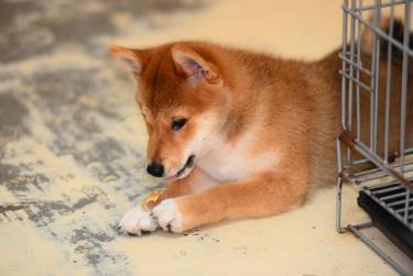 纯日系血统柴犬、种犬全部国外引进、幼犬多只可挑选