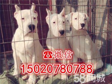 【杜高犬专业养殖】出售杜高犬-精品杜高-杜高犬价格