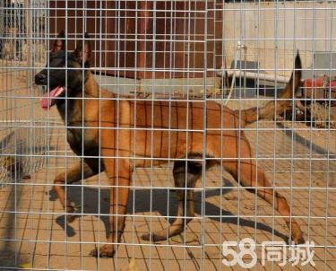 出售2-4月双血统精品马犬,带证书有保障,可视频