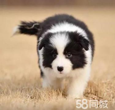 狗�鲋变N,包�包健康,可��l,可送�(huo)
