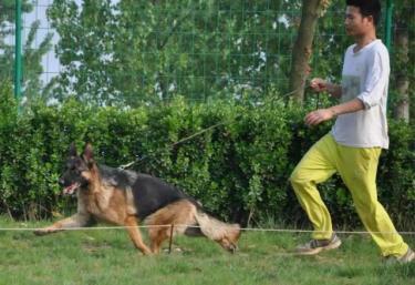 锤系德国牧羊犬 黑神瓦尔特等名血系 精品德牧幼犬