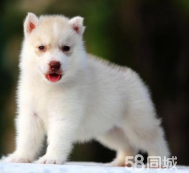 出售哈士奇幼犬 純種藍寶石眼睛三把火 簽協議質