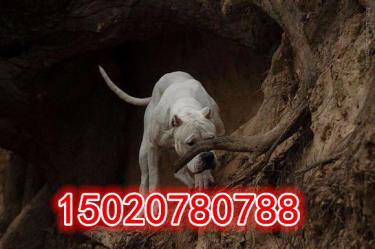 【杜高犬专业养殖】金沙官方平台杜高犬-精品杜高-杜高犬价格