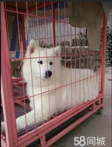 """""""微笑天使""""萨摩耶/犬舍开业/价格实惠/可视频挑选"""