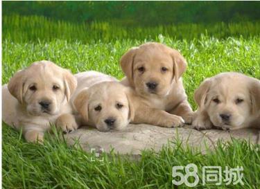 帅气忠诚的拉布拉多犬健康调皮大众的最爱宝宝