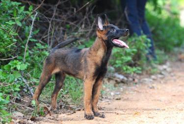 凉山,纯种赛级血统马犬哪里有卖的,2-3个月保健康
