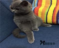 英短美短折耳渐层蓝猫,颜值高品相好保证健康
