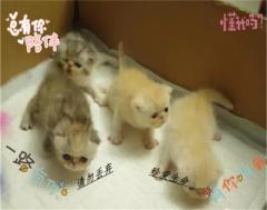 自家繁殖波斯猫健康保障签协议
