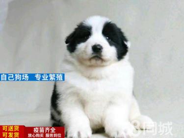 邊境牧羊犬 幼犬 品種純 七白到位,已做驅蟲和疫苗