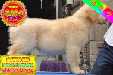 包純種包健康品質包終身大頭金毛犬寵物狗