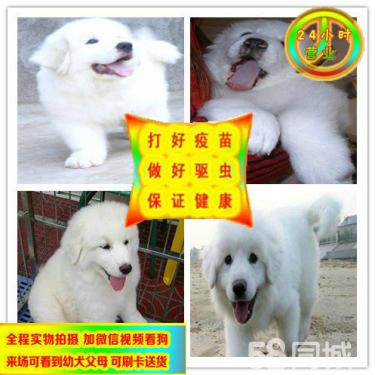 純種骨架高大大白熊寶寶出售毛色漂亮活潑可愛包健康