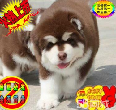 高品质巨型阿拉斯加幼犬待售 红黑灰色均有 保纯保