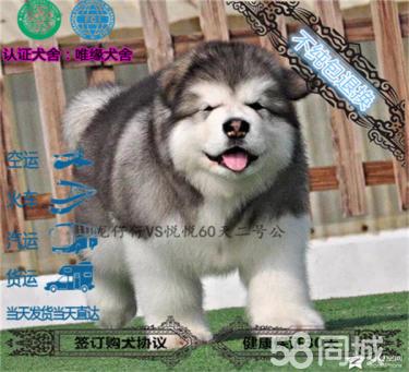 纯种赛级血统的巨型阿拉斯加幼犬~品相好~阿拉斯加