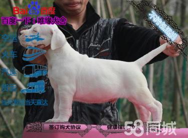 国外引进的国际赛季杜高犬种犬双血统 证书已办
