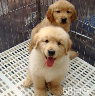 狗场直销金毛、高端赛级金毛、双血、包活、带证