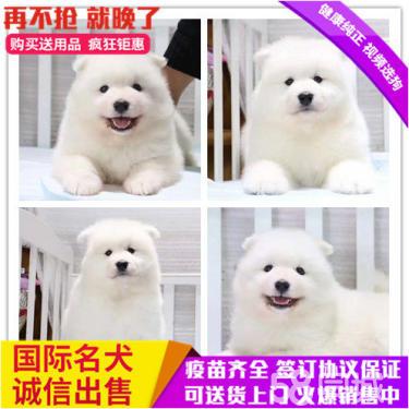 白天使萨摩耶骨量大 毛量佳正规犬舍繁殖澳版可送到家