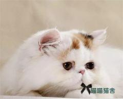 純家養純長毛加菲貓波斯貓五短身材眼鼻一線先到先挑