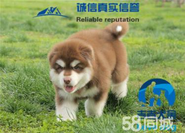 阿拉斯加雪橇犬,巨型熊版灰桃十字,包純種健康養活