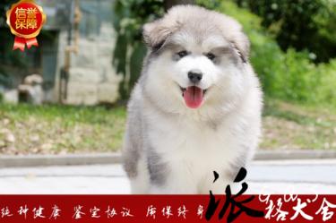 澳门金沙官网纯种巨型阿拉斯加雪橇犬赛级犬后代包纯种健康签协